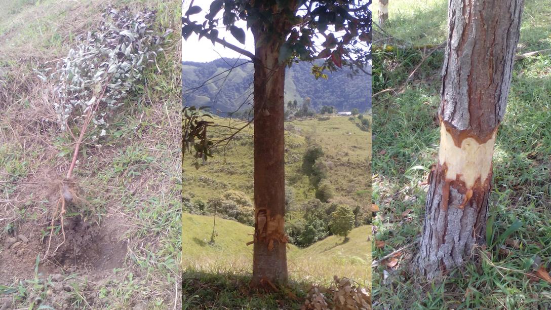 Rechazan tala de eucaliptos en Oporapa