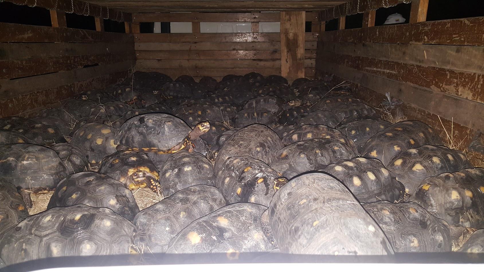153 tortugas decomisadas en el Huila serán liberadas
