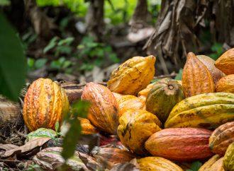 Campesinos cambian cultivos de coca por cacao