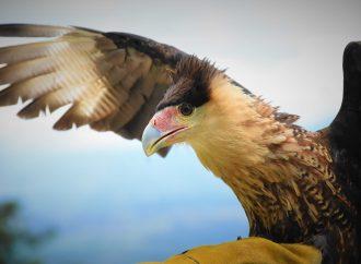 Después que le cortaran su plumaje, Caracara se recuperó y volvió a volar